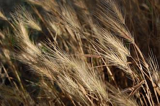 Photo: Golden Grain