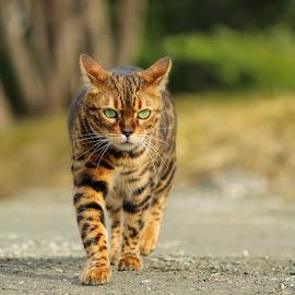 Kokos by Jane Bjerkli - Animals - Cats Portraits ( expression, walking, cat, bengal cat, green, pet, outdoors, spring, bengal, eyes, animal )