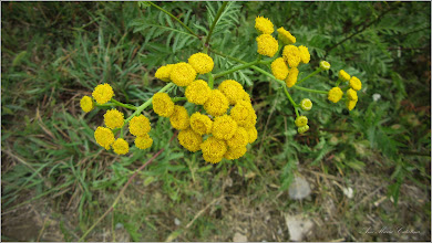 Photo: Crizanteme mici, Vetrice (Tanacetum vulgare) -  din Turda, de pe Str. Bogata - 2018.09.05