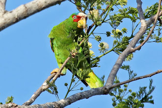 Photo: White-fronted Parrot