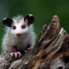 Mini Mi - Baby Possum by William Rainey  - Animals Other Mammals ( animals, wildlife, arkansas,  )