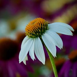 by Marie Schmidt - Flowers Flower Gardens