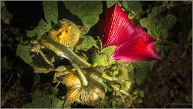 Photo: Zămoșiță de Siria (Hibiscus syriacus - de pe Calea Victoriei, Mr.1 - 2017.07.28