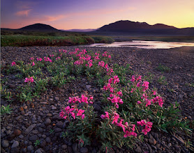 Photo: In case you are a passionate plantsman, you will definitely not choose Iceland as an ideal destination for your business trips. For many reasons, there are vast areas of sparse vegetation there and nothing else. A combination of an intriguing plant embedded into an epic scenery, so popular amongst landcape photographers, was of a very short supply.  For the whole trip, I was dreaming of a shot with a violet lupin field and a huge glacier in the background, lit with early sunlight. Instead, this is called 'arctic riverbeauty', very typical Icelandic plant that you won't find elsewhere in Europe. I waded the river, lied down and worked out the composition with poor hills, pretty confident that I will get much better flower shot later as we go.  How wrong I was...
