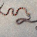 Texas Coral Snake/Texas Rat Snake