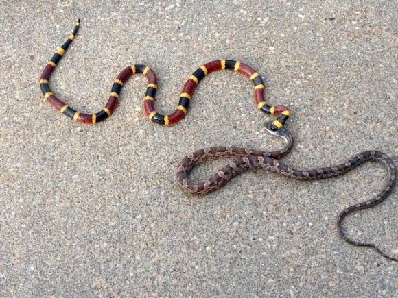 Texas Coral Snake Texas Rat Snake Project Noah