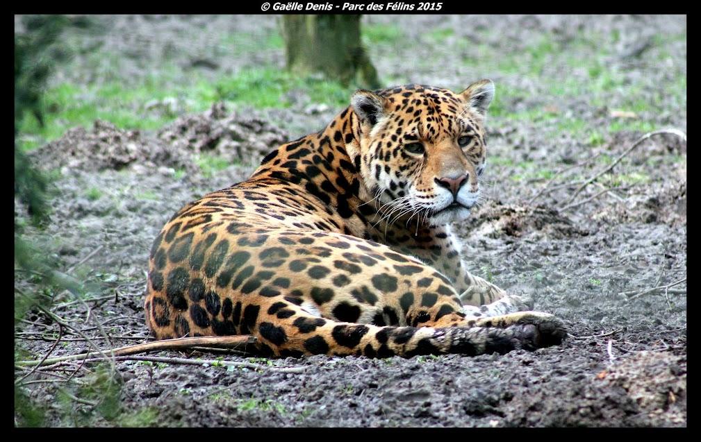Jaguar, Parc des Félins - Tous droits réservés