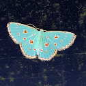 Cosmostola Moth