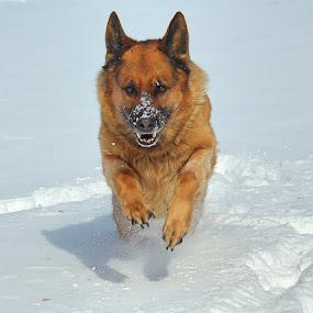 Full steam ahead! by Sue Delia - Animals - Dogs Running ( german shepherd, dog, running,  )