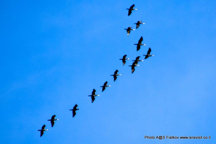Бакланы. Экскурсия в Израиле в птичий заповедник на озеро Агмон Хула.