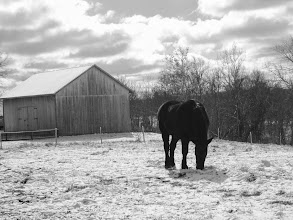 Photo: Black and white photo of a black horse grazing in snow in front of a wooden barn at Carriage Hill Metropark in Dayton, Ohio.