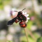 Red and Black Mason Wasp