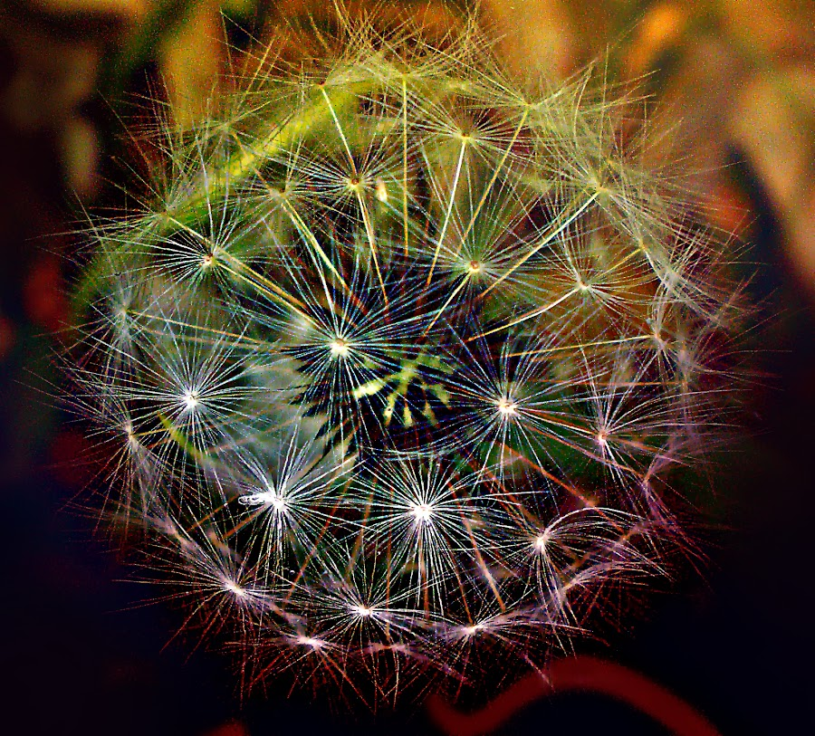 Dandelion's Dream In November by Marija Jilek - Nature Up Close Other plants ( november, dandelion, nature, dream, plants )