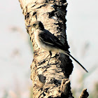 White Faced Wagtail