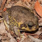 Western marsh frog