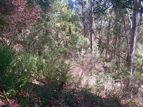 Photo: French broom and eucalyptus combine to form a vegetation management nightmare.
