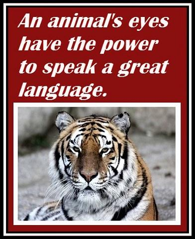 Inspirational Tiger Quotes