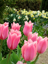 Photo: Pink tulips in front of daffodils at Wegerzyn Gardens in Dayton, Ohio.