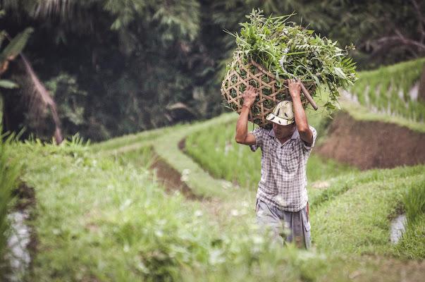 Rice farmer di zucchifrancesco