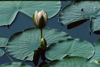 Photo: 3 Water Lily on Reflection Lake