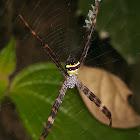 St. Andrew's Cross Spider
