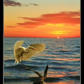 { Great Egret ~ Ardea alba } by Jeffrey Lee - Typography Captioned Photos ( { great egret ~ ardea alba },  )