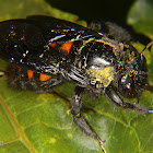 Carpenter bee (female)