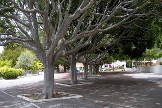 Photo: Ficus Fig trees with very thin canopies, Santa Barbara, CA, May 13, 2012