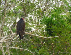 "Photo: Turkey Vulture; ""Birders Highway"", south of San Blas"