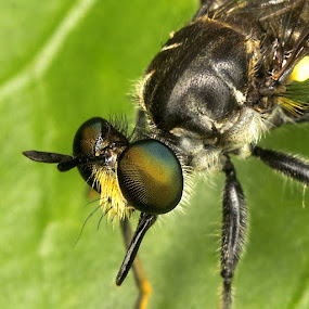 Robberfly maybe.. by Fairul Izwan CreativeVision - Animals Insects & Spiders ( macro )