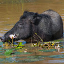 Indian boar, Andamanese pig, Moupin pig (wild, munching on Water Lily)