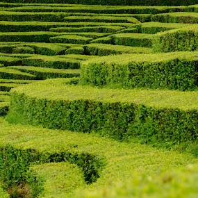 Te Gorreana, Azores by Martín Silva Cosentino - Landscapes Prairies, Meadows & Fields ( campo, paisaje, te, portugal, azores,  )