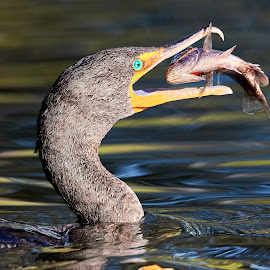 00 Cormorant 99905~Q by Raphael RaCcoon - Animals Birds