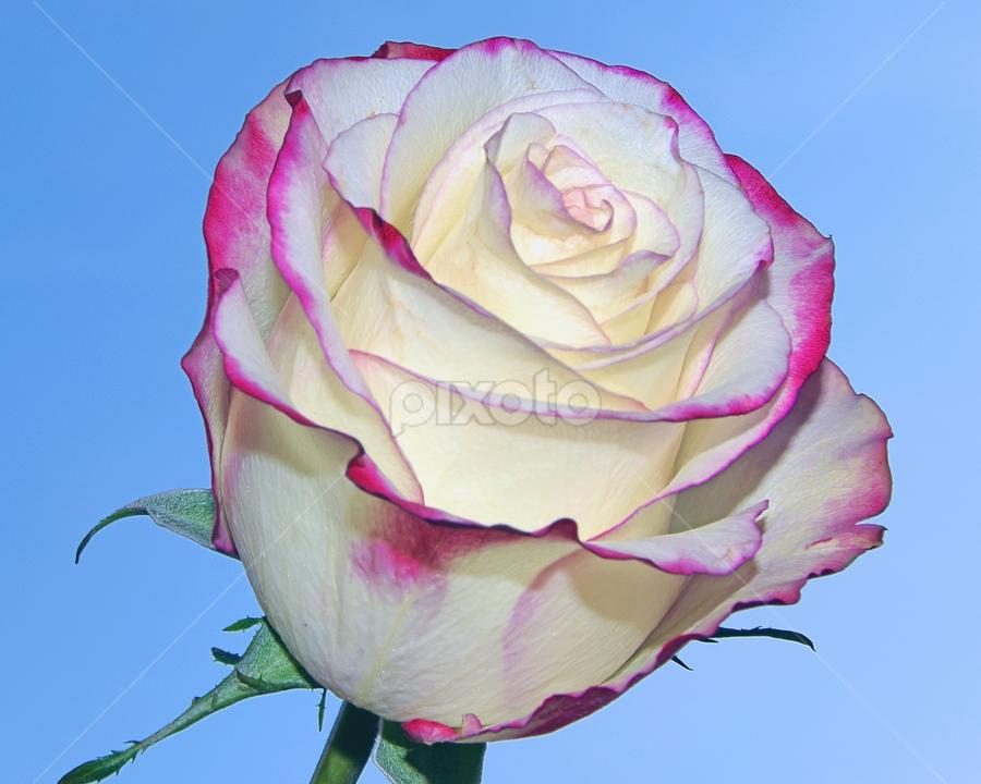 beautiful rose by LADOCKi Elvira - Flowers Single Flower (  )