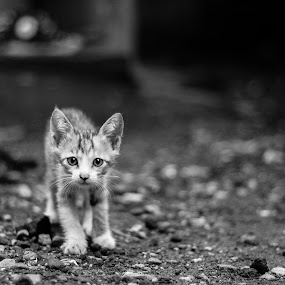 Curious Kitty by Krizzel Almazora - Animals - Cats Portraits ( canon, cat, black and white, street, portrait )
