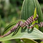 Blunthead Tree Snake
