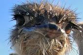 Чубинские страусы