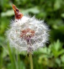 Photo: Bonjour.  Je vais semer au vent ! Graines de pissenlit.