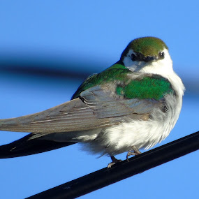 BIRD ON A WIRE by Cynthia Dodd - Novices Only Wildlife ( bird, animals, nature, colorful, wildlife )