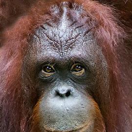 Just Like Your Imagination by Yohanes Arief Dewanto - Animals Other Mammals ( orangutan, ape, wilderness, animal, wild )