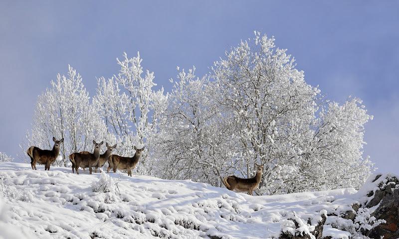 Nella neve, alla ricerca di cibo. di gigidueelle