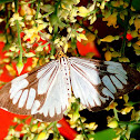 White tiger moth or marbled white moth