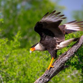 Kara Kara by Janez Žalig - Animals Birds ( plen, kara kara, drevo, lov, pristanek )