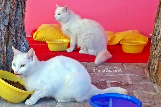 Travel: Van in Eastern Turkey: Van cat