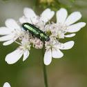 Silver-green Leaf Weevil