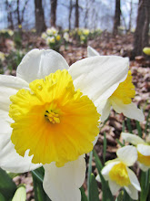 Photo: Brithg yellow and white daffodils at Hills and Dales Metropark in Dayton, Ohio.