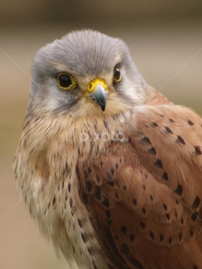 Kestrel 2 by Garry Chisholm - Animals Birds ( garry chisholm, eagle, falcon, raptor, prey, kestrel, hawk )