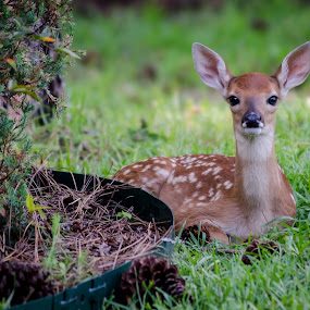 Newborn Fawn by Michele Dan - Animals Other ( baby deer, chillin', wildlife, fawn, deer )