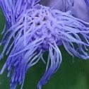 Blue mistflower or Wild Ageratum