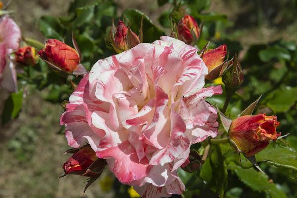 La mia rosa preferita. di Sognatrice